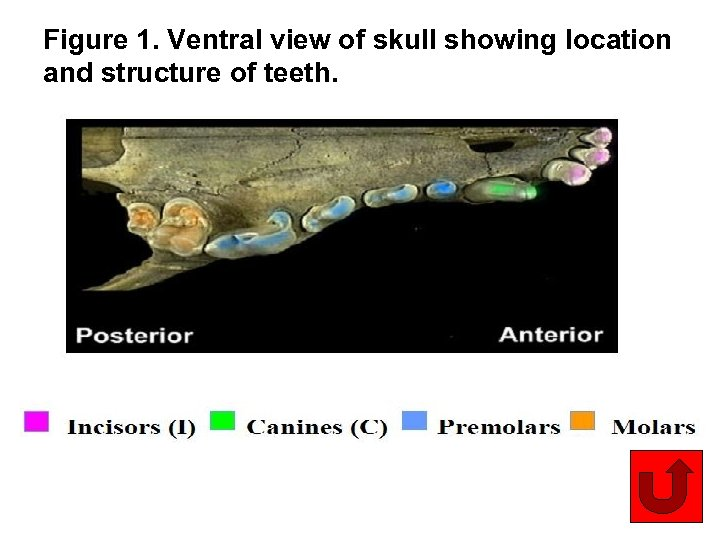 Figure 1. Ventral view of skull showing location and structure of teeth. 10