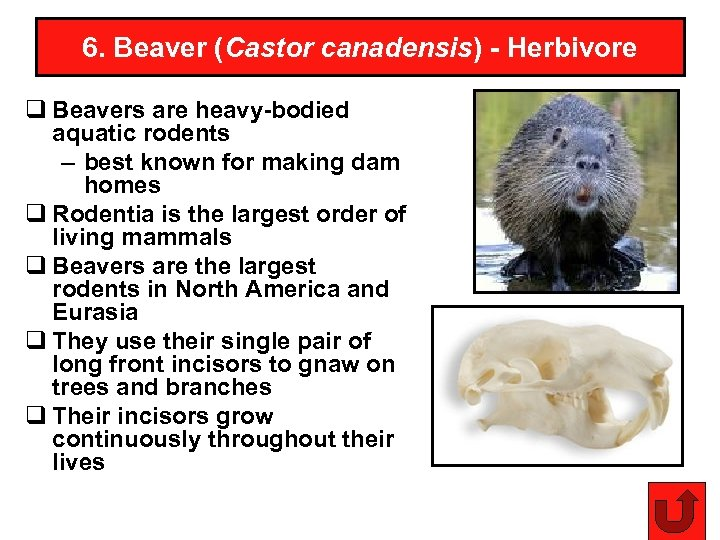 6. Beaver (Castor canadensis) - Herbivore q Beavers are heavy-bodied aquatic rodents – best