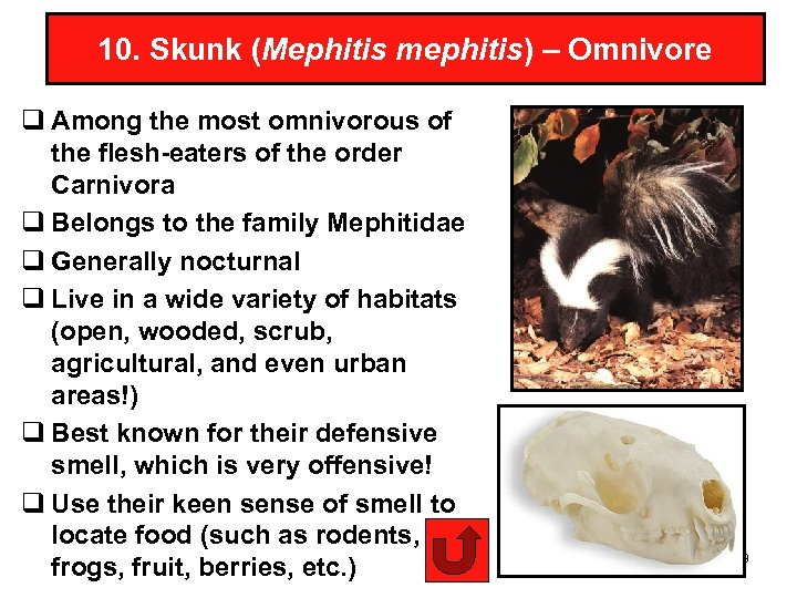 10. Skunk (Mephitis mephitis) – Omnivore q Among the most omnivorous of the flesh-eaters
