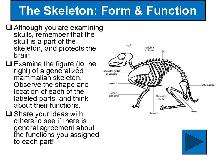 The Skeleton: Form & Function q Although you are examining skulls, remember that the