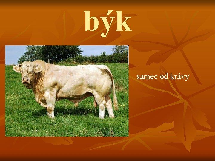 býk samec od krávy