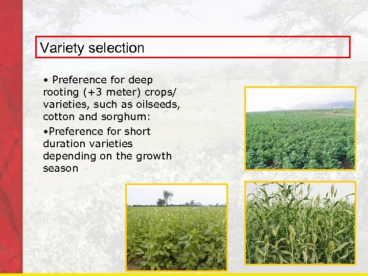 Variety selection • Preference for deep rooting (+3 meter) crops/ varieties, such as oilseeds,