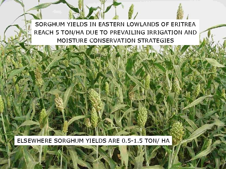 SORGHUM YIELDS IN EASTERN LOWLANDS OF ERITREA REACH 5 TON/HA DUE TO PREVAILING IRRIGATION