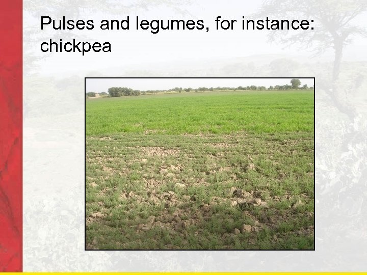 Pulses and legumes, for instance: chickpea