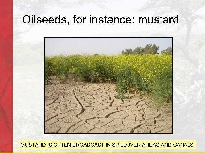 Oilseeds, for instance: mustard MUSTARD IS OFTEN BROADCAST IN SPILLOVER AREAS AND CANALS