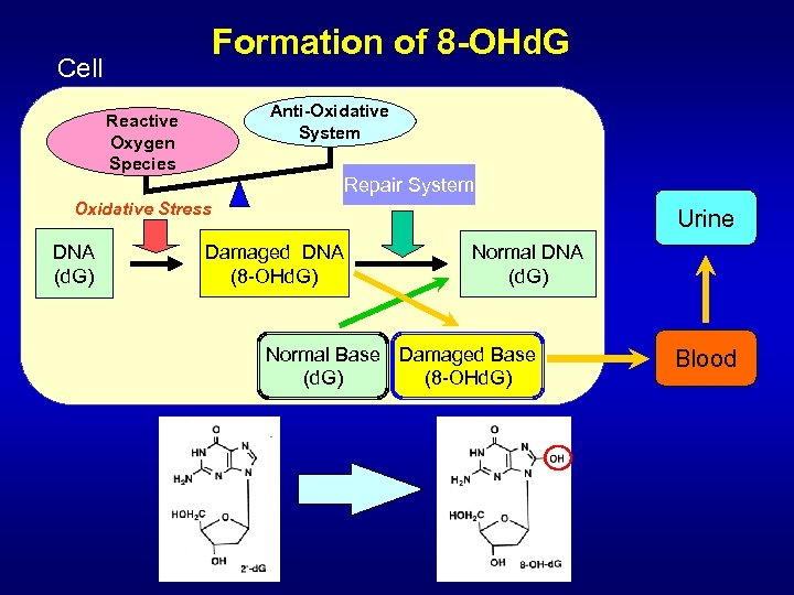 Formation of 8 -OHd. G Cell Anti-Oxidative System Reactive Oxygen Species Repair System Oxidative