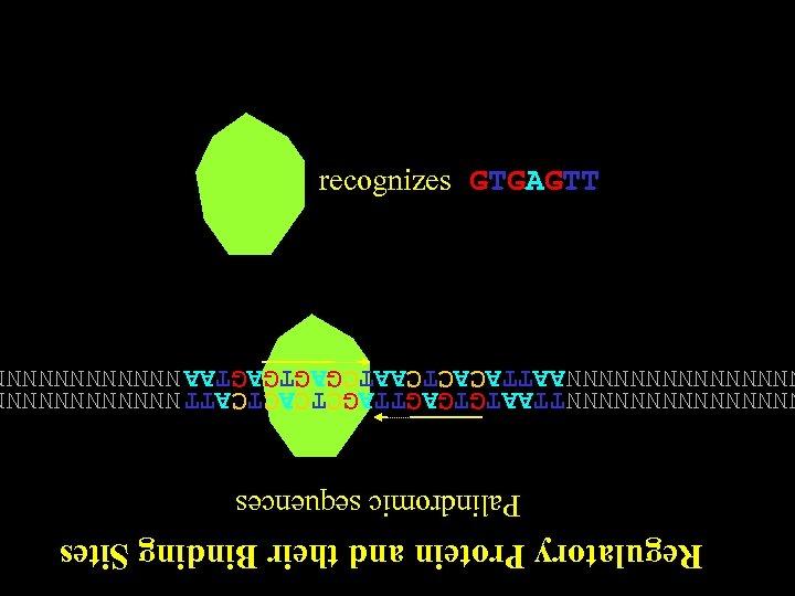 Regulatory Protein and their Binding Sites Palindromic sequences NNNNNNN TTAATGTGAGTTAGCTCATT NNNNNNNNNNNNNN AATTACACTCAATCGAGTAA NNNNNN recognizes