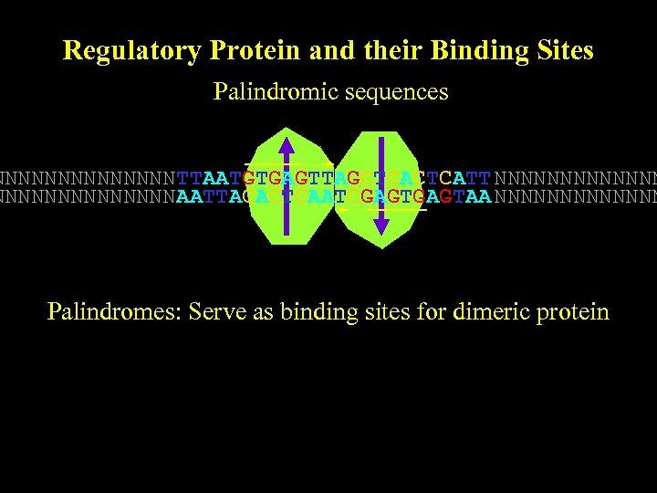 Regulatory Protein and their Binding Sites Palindromic sequences NNNNNNN TTAATGTGAGTTAGCTCATT NNNNNNNNNNNNNN AATTACACTCAATCGAGTAA NNNNNNN Palindromes: