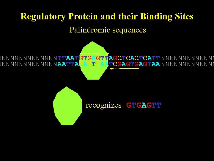 Regulatory Protein and their Binding Sites Palindromic sequences NNNNNNN TTAATGTGAGTTAGCTCATT NNNNNNNNNNNNNN AATTACACTCAATCGAGTAA NNNNNNN recognizes