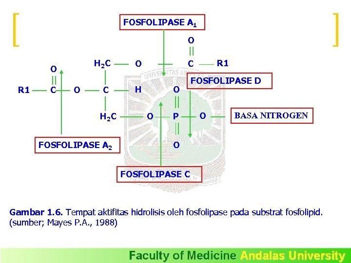 FOSFOLIPASE A 1 O H 2 C O R 1 C O C H