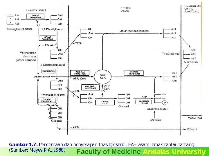 Gambar 1. 7. Pencernaan dan penyerapan triasilgkiserol. FA= asam lemak rantai panjang. (Sumber: Mayes