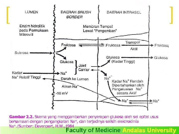 Gambar 2. 2. Skema yang menggambarkan penyerapan glukosa oleh sel epitel usus bersamaan dengan