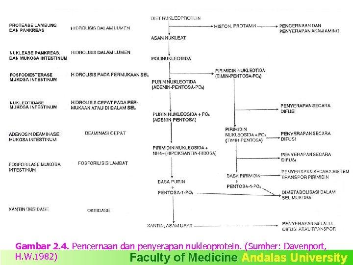 Gambar 2. 4. Pencernaan dan penyerapan nukleoprotein. (Sumber: Davenport, H. W. 1982)
