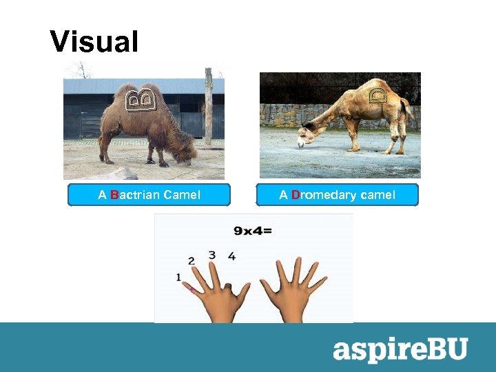 A Bactrian Camel D B Visual A Dromedary camel