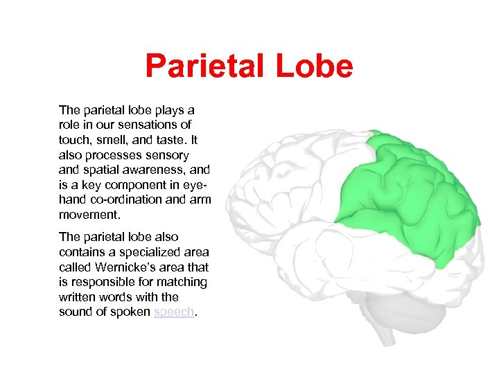 Parietal Lobe The parietal lobe plays a role in our sensations of touch, smell,