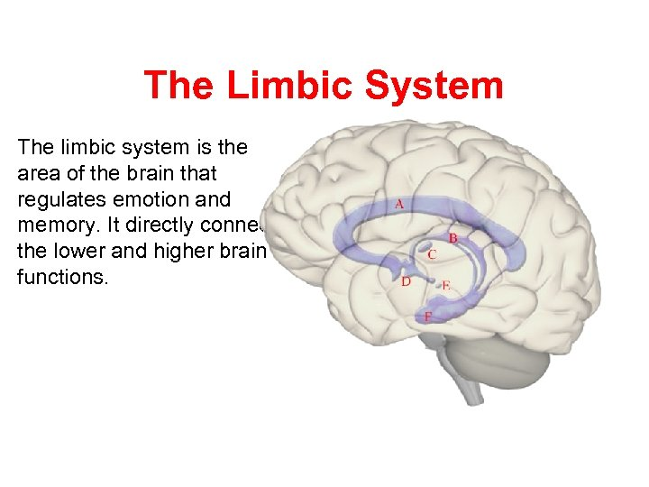 The Limbic System The limbic system is the area of the brain that regulates