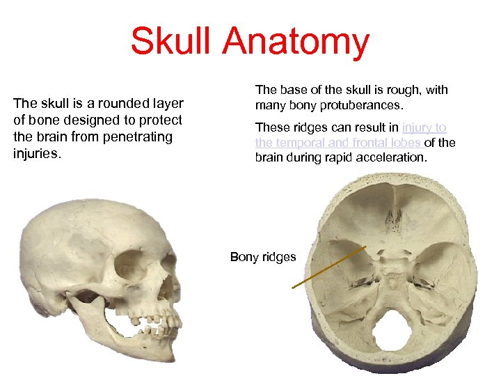 Skull Anatomy The skull is a rounded layer of bone designed to protect the