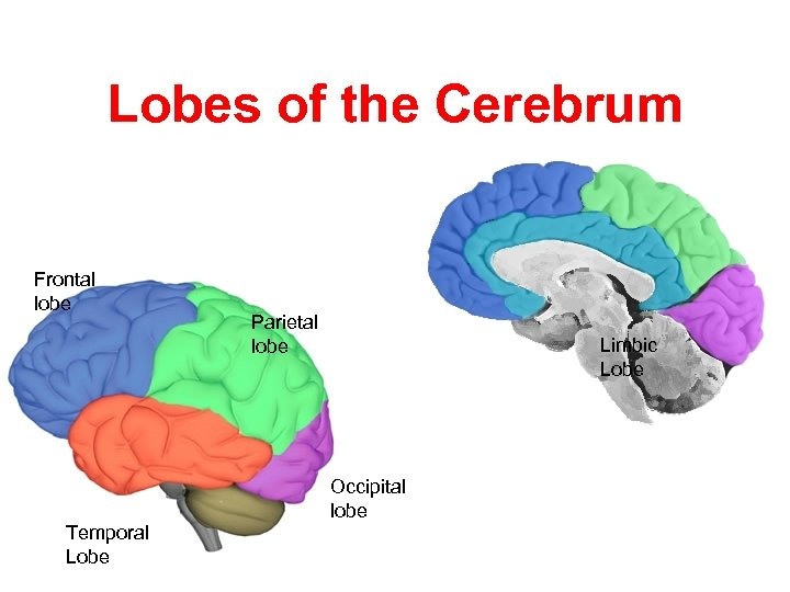 Lobes of the Cerebrum Frontal lobe Parietal lobe Limbic Lobe Occipital lobe Temporal Lobe