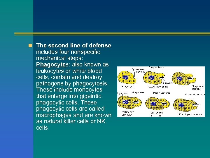 n The second line of defense includes four nonspecific mechanical steps: Phagocytes: also known