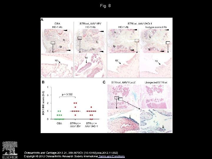 Fig. 8 Osteoarthritis and Cartilage 2013 21, 358 -367 DOI: (10. 1016/j. joca. 2012.