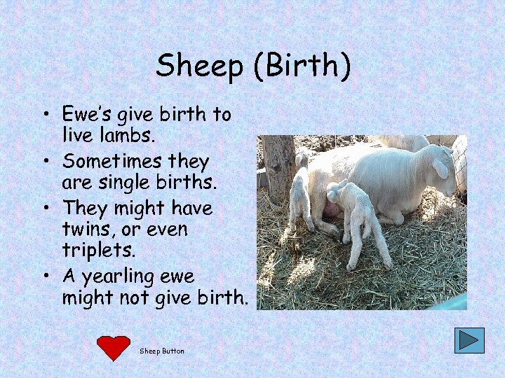 Sheep (Birth) • Ewe's give birth to live lambs. • Sometimes they are single