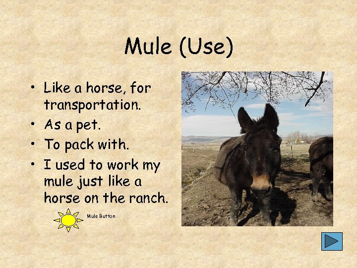 Mule (Use) • Like a horse, for transportation. • As a pet. • To