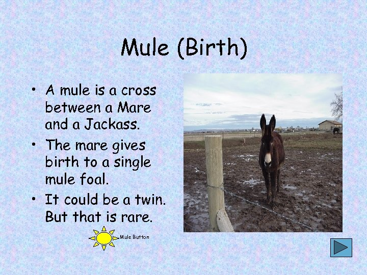 Mule (Birth) • A mule is a cross between a Mare and a Jackass.