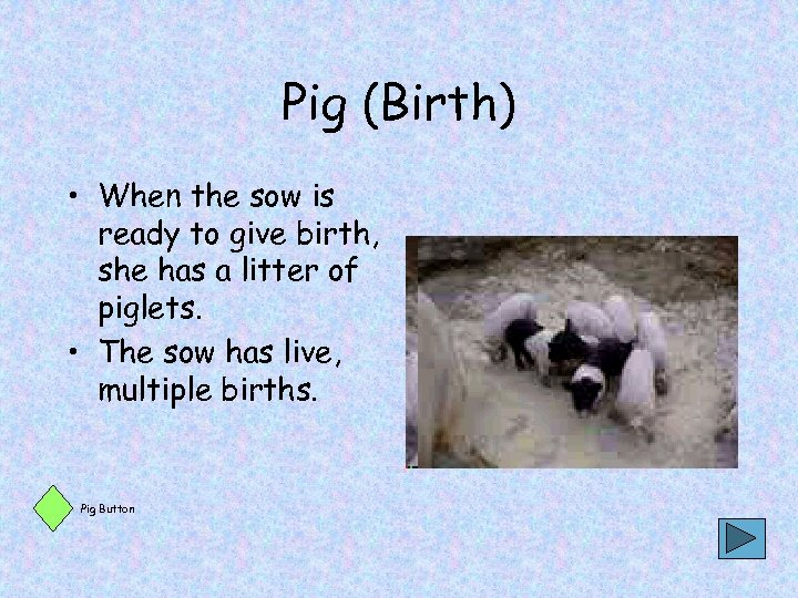 Pig (Birth) • When the sow is ready to give birth, she has a