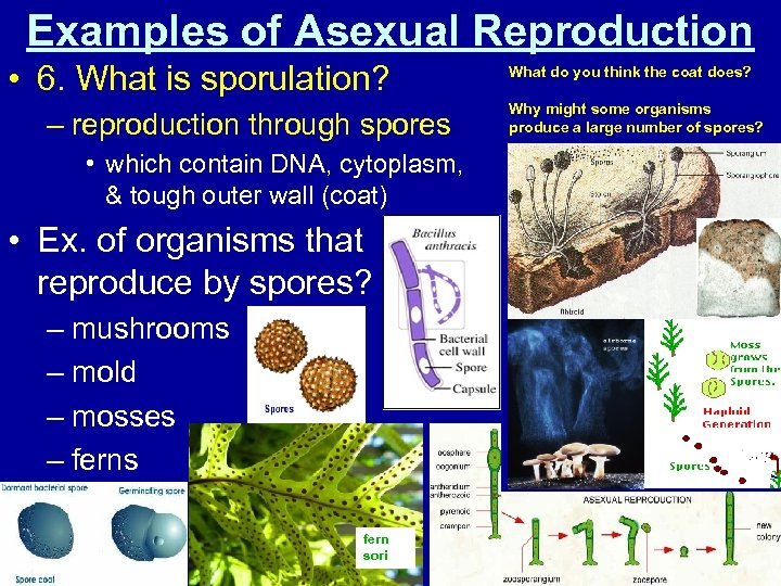 Examples of Asexual Reproduction • 6. What is sporulation? – reproduction through spores •