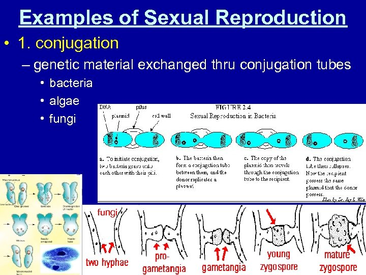 Examples of Sexual Reproduction • 1. conjugation – genetic material exchanged thru conjugation tubes