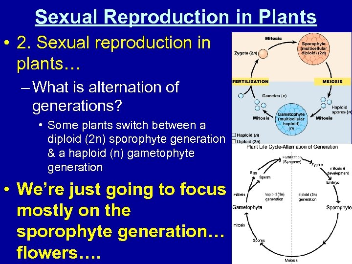Sexual Reproduction in Plants • 2. Sexual reproduction in plants… – What is alternation