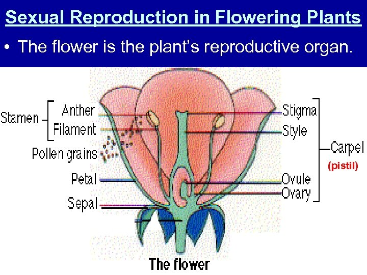 Sexual Reproduction in Flowering Plants • The flower is the plant's reproductive organ. (pistil)