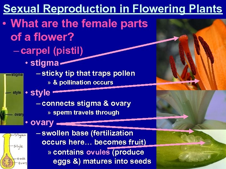 Sexual Reproduction in Flowering Plants • What are the female parts of a flower?