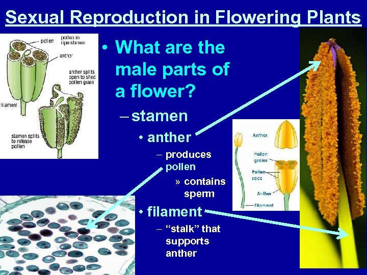 Sexual Reproduction in Flowering Plants • What are the male parts of a flower?