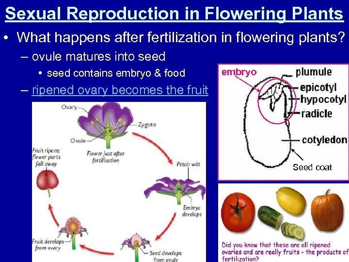 Sexual Reproduction in Flowering Plants • What happens after fertilization in flowering plants? –