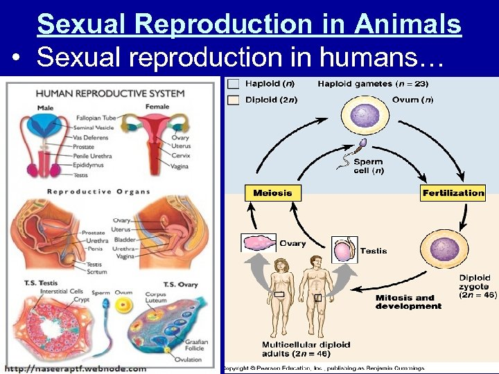 Sexual Reproduction in Animals • Sexual reproduction in humans…