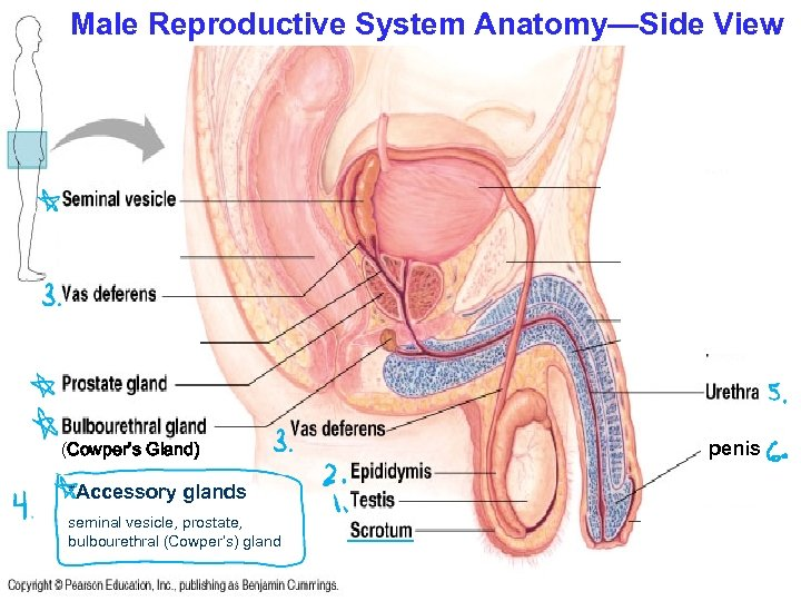 Male Reproductive System Anatomy—Side View (Cowper's Gland) *Accessory glands seminal vesicle, prostate, bulbourethral (Cowper's)