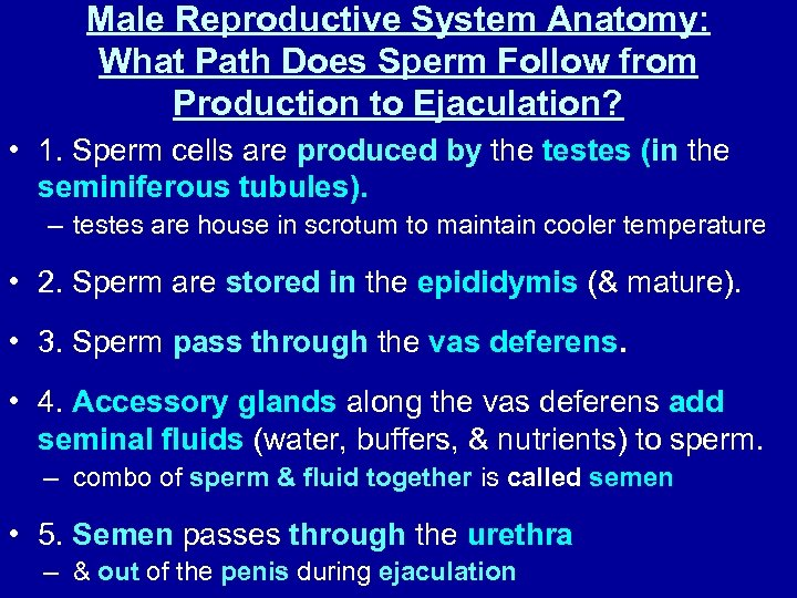 Male Reproductive System Anatomy: What Path Does Sperm Follow from Production to Ejaculation? •