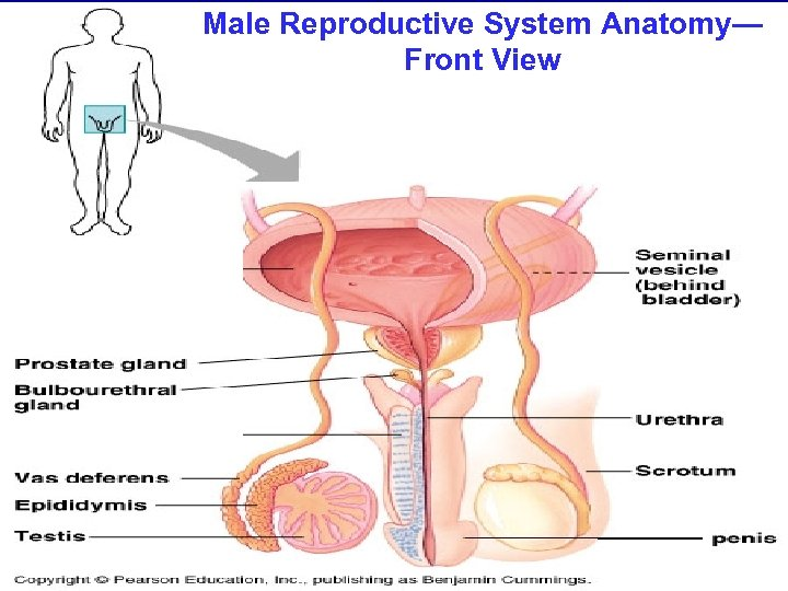 Male Reproductive System Anatomy— Front View