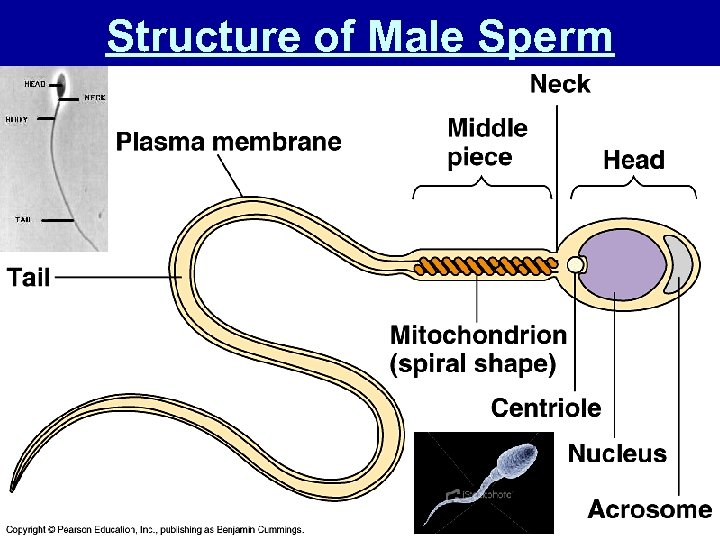 Structure of Male Sperm