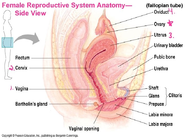Female Reproductive System Anatomy— Side View (fallopian tube)
