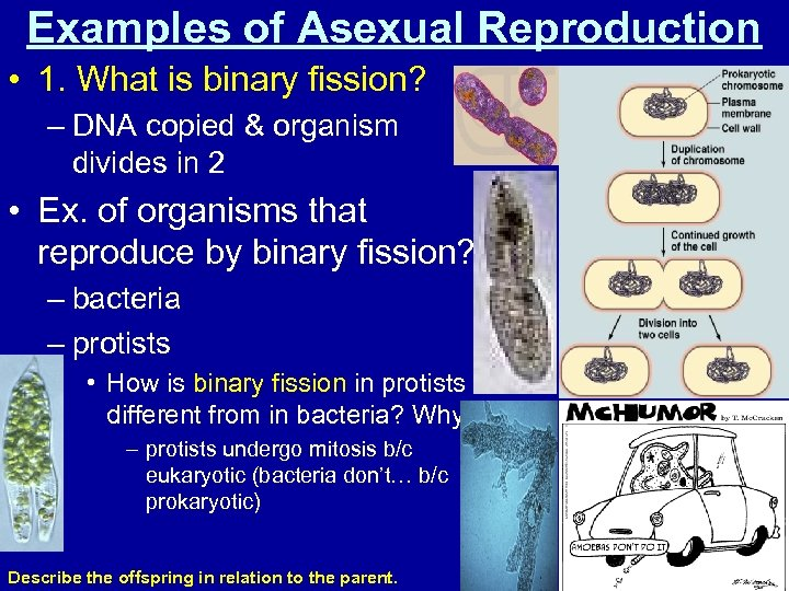 Examples of Asexual Reproduction • 1. What is binary fission? – DNA copied &