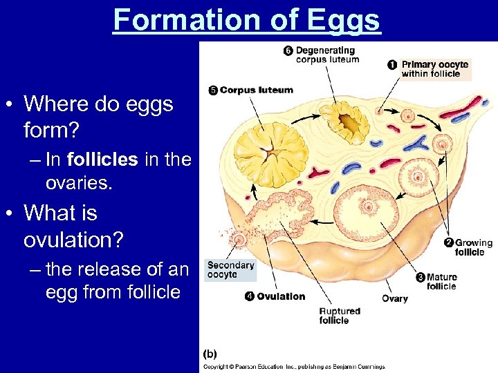 Formation of Eggs • Where do eggs form? – In follicles in the ovaries.