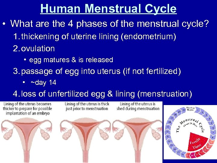 Human Menstrual Cycle • What are the 4 phases of the menstrual cycle? 1.