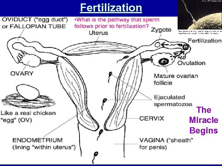 Fertilization • What is the pathway that sperm follows prior to fertilization? The Miracle