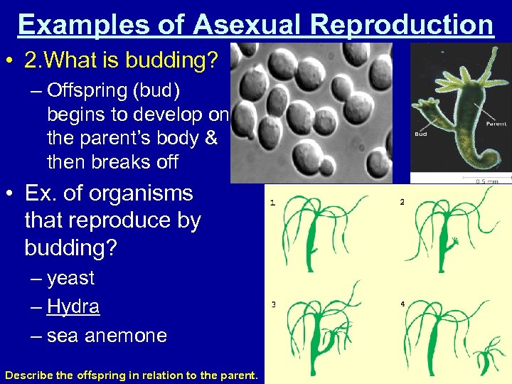 Examples of Asexual Reproduction • 2. What is budding? – Offspring (bud) begins to