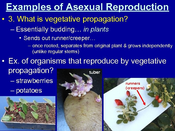 Examples of Asexual Reproduction • 3. What is vegetative propagation? – Essentially budding… in