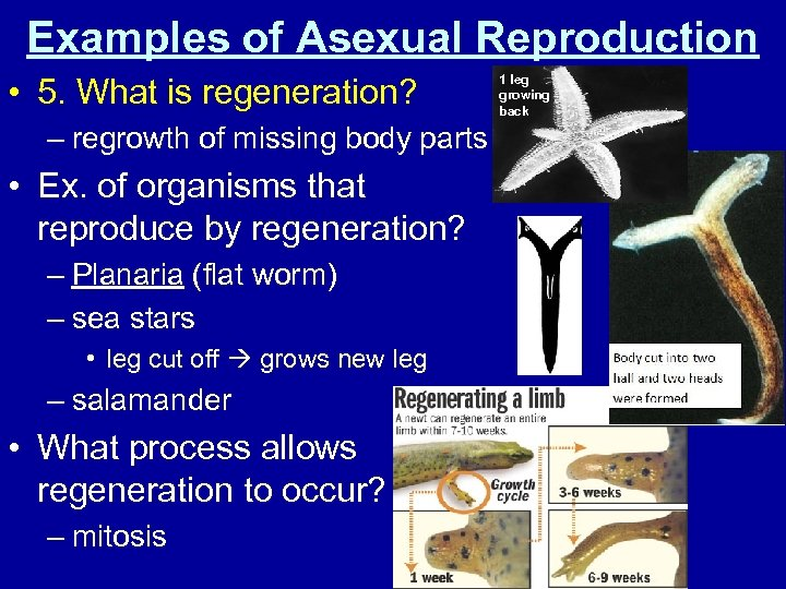 Examples of Asexual Reproduction • 5. What is regeneration? – regrowth of missing body