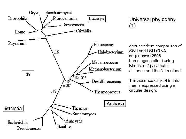 Eucarya Universal phylogeny (1) deduced from comparison of SSU and LSU r. RNA sequences