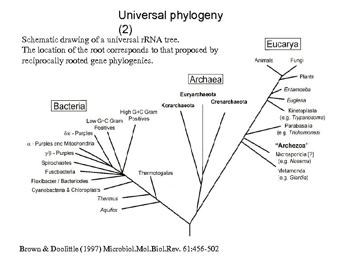 Universal phylogeny (2) Schematic drawing of a universal r. RNA tree. The location of